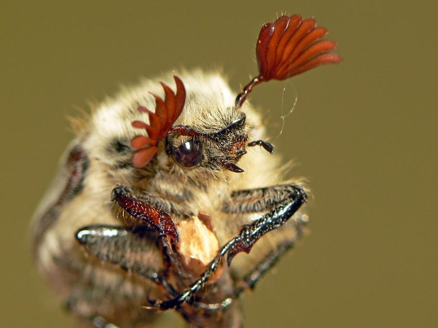 Фотография: Майский жук