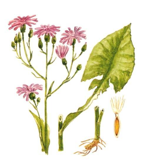 Цицербита Уральская (Cicerbita uralensis)