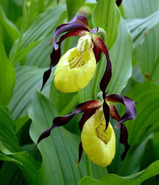 ������� �������� (Cypripedium calceolus)