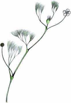 Лютик Кауфмана (Ranunculus kauffmannii Clerc.)