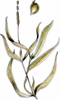 Рдест длиннейший (Potamogeton praelongus)