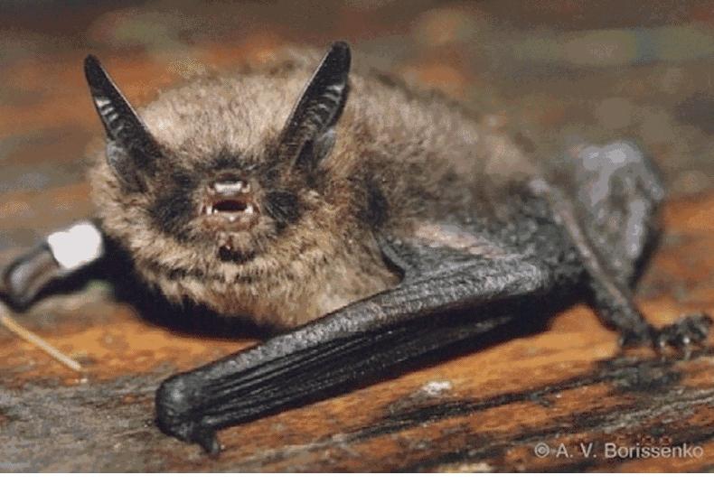 Ночница Брандта (Myotis brandti)