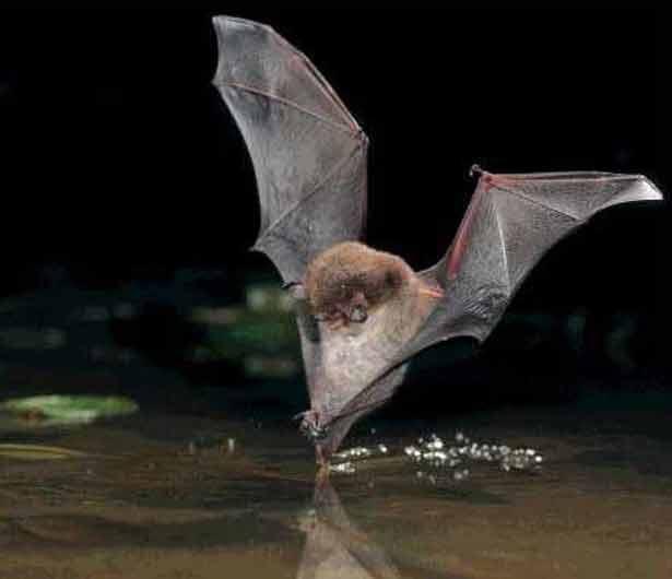 Ночница водяная (Myotis daubentoni)