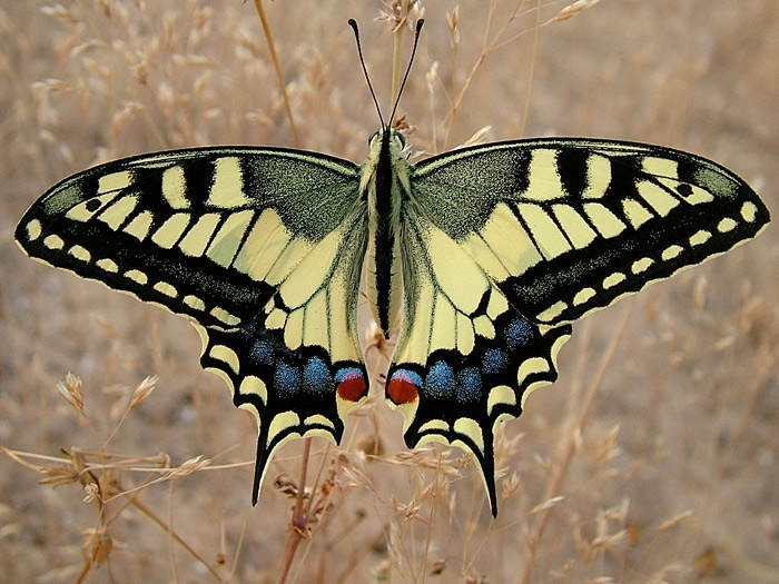������ (Papilio machaon)