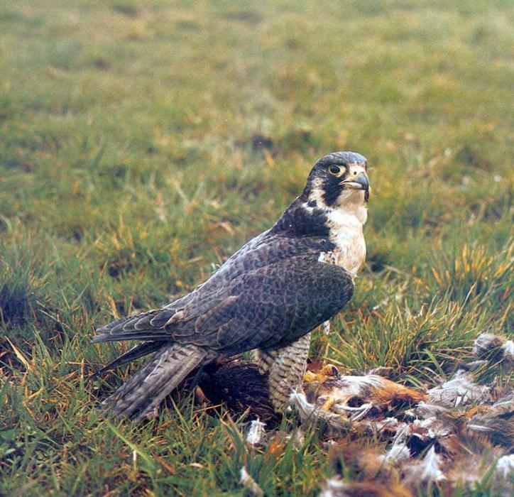 Сапсан, или настоящий сокол (Falco peregrinus)
