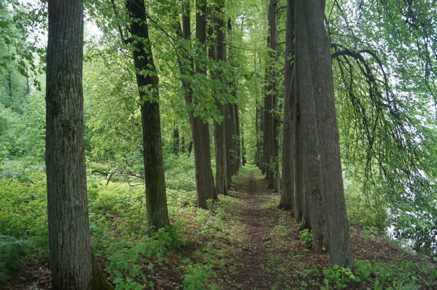 Аллея парка Бестужевых-Рюминых в деревне Кудрешки