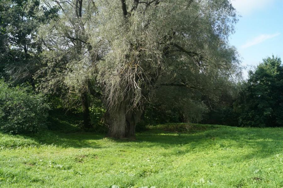 Это ветла, живущаяуже более 200 лет, немая свидетельница пребывания Пушкина в Болдине.