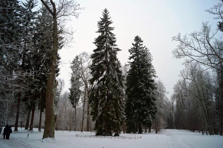 Ель - шатер