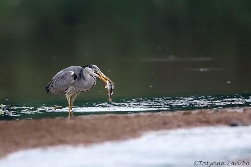 рыбак цапля фотограф