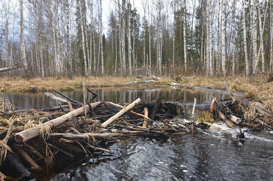 Одна из многих бобровых плотин на реке